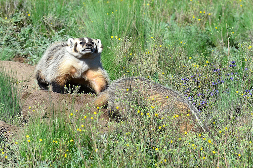 Quad Cities Zoo Managers:  Badgers Are Missing