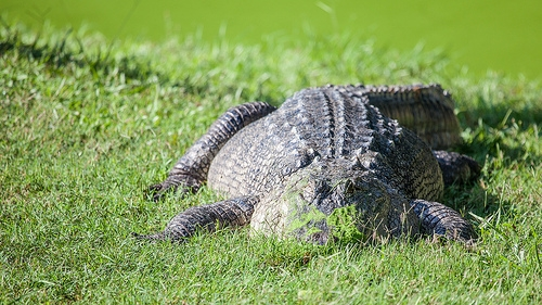 Alligator Found In Lake Michigan