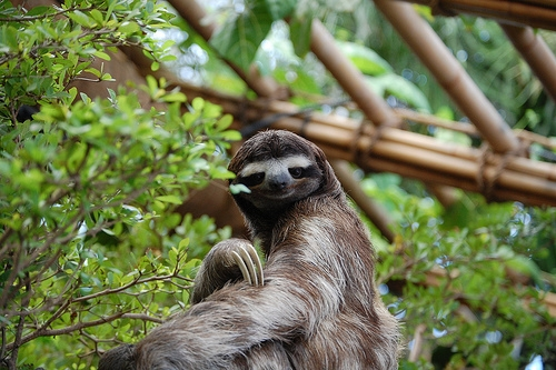 Three-Toed Sloth Surprises Peruvian Citizens