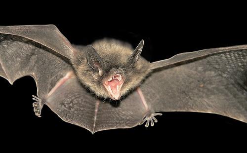 Bat Population Continues To Decline