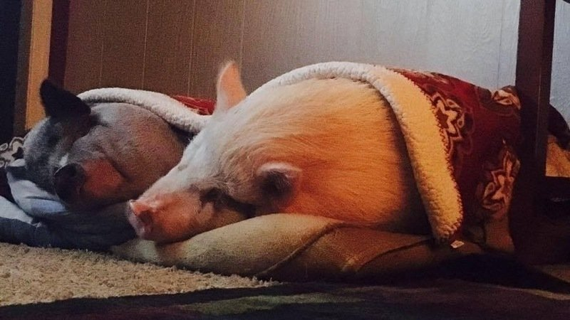 Petition Hoping to Help a Local Family Keep Their Pet Pigs is Close to Reaching Goal