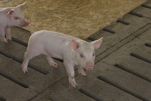Daviess County Hog Farmer Cited For Hog Waste