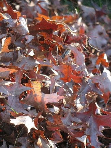 Mattoon Leaf Collection Continues