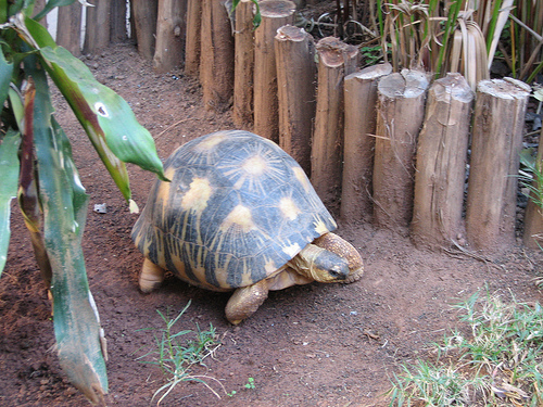 A Giant Tortoise Escapes From the Zoo . . . and Makes It 450 Feet in Two Weeks