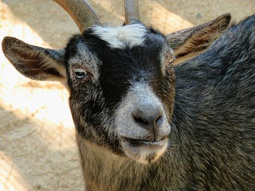 Goats To Caddie