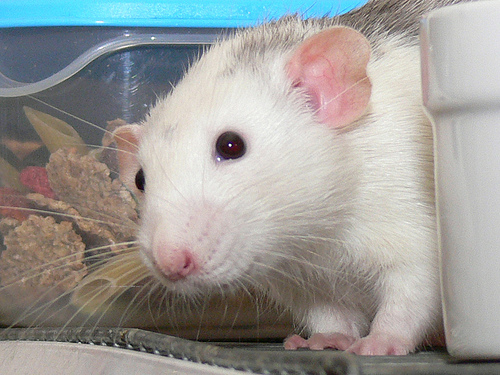 The Pet That Kids Want Most Isn't a Dog or Cat . . . It's a Rat?