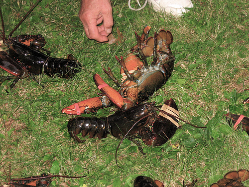Maine Restaurant Giving Lobsters Marijuana Before Cooking Them