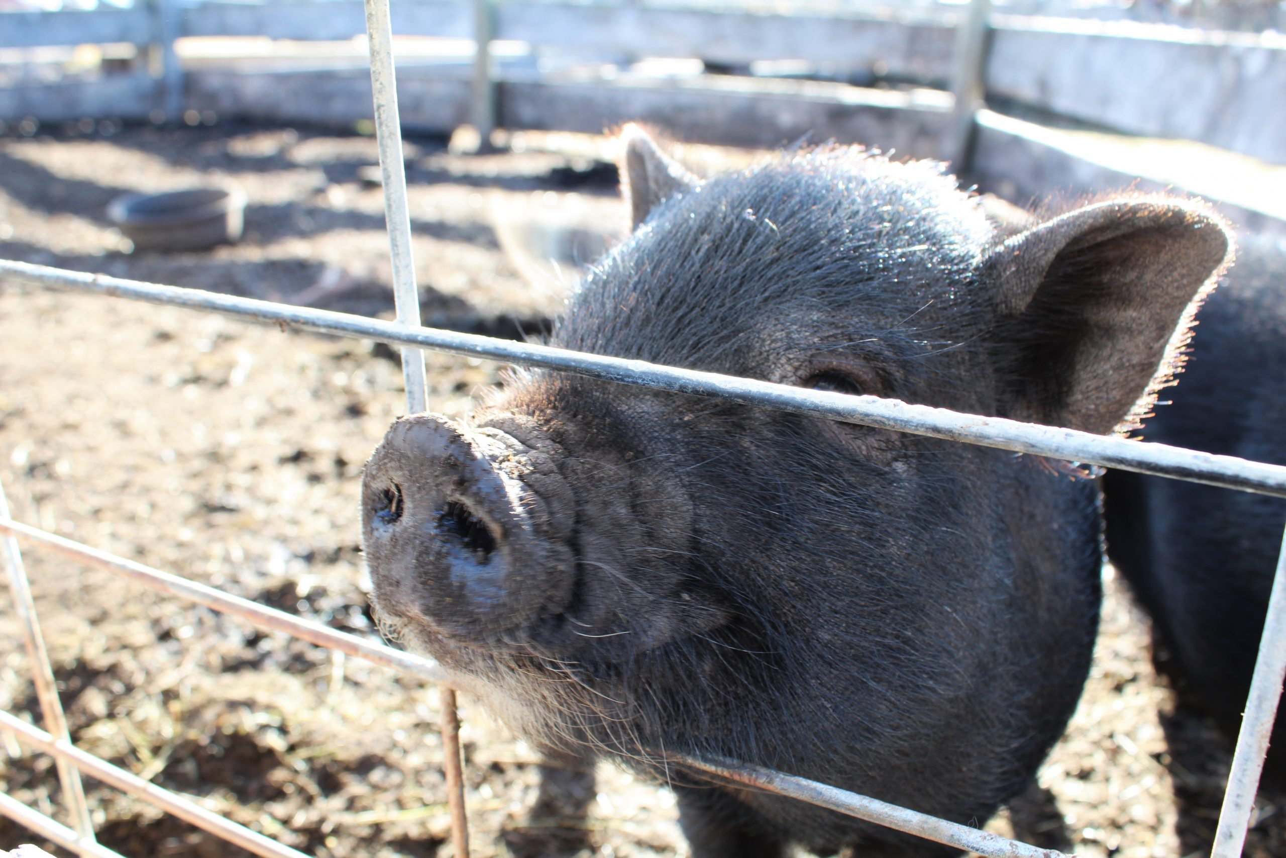 Pot-belly pigs are the way to my heart: Vero's Sunday October 28th