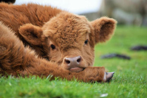 Cow Cuddling is the New Wellness Trend
