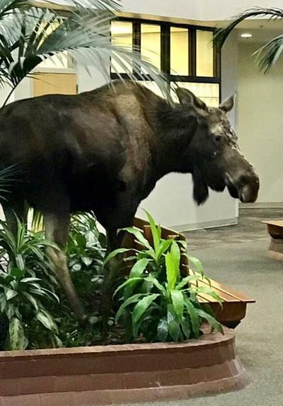 So A Moose Walks Into A Hospital...