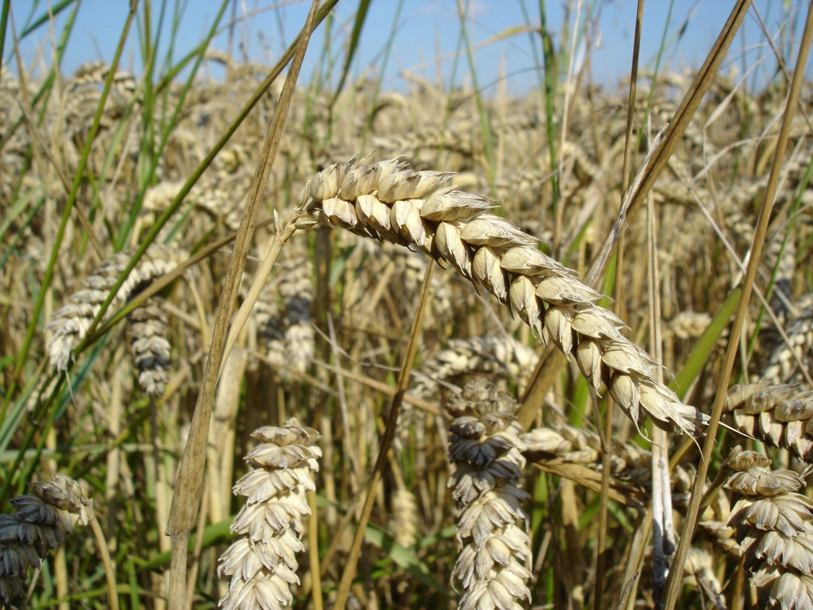 Canadian Farm leaders hope for quick re-opening of Japanese and South Korean wheat markets