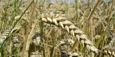 Business as usual for Canadian wheat exports despite discovery of unauthorized g-m wheat in Alberta