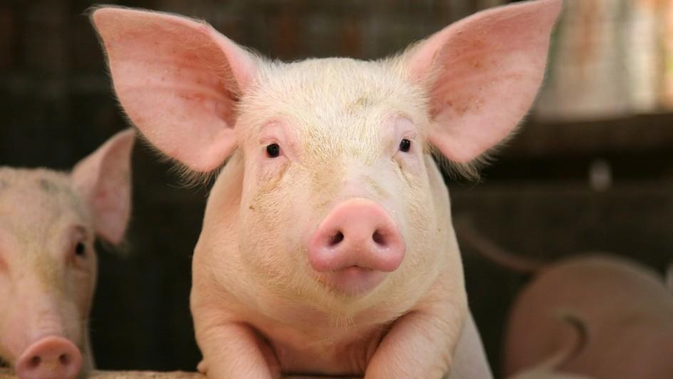 Over 10,000 pigs killed in barn fire near Plenty