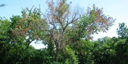 Dutch Elm Disease cases and mosquito numbers up in Regina