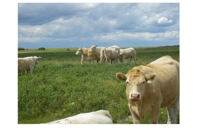 Fall movement of calves to market pressure prices: market analyst