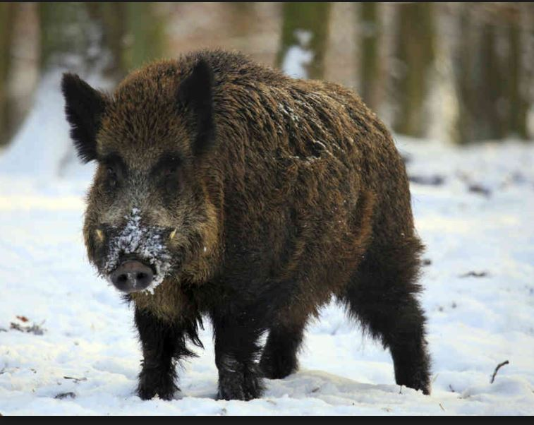 Wild boar threat among issues discussed at Sask Stock Growers Meeting