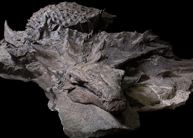 Oldest, Most Preserved Alberta Dinosaur, Found Near Fort McMurray, Now on Display
