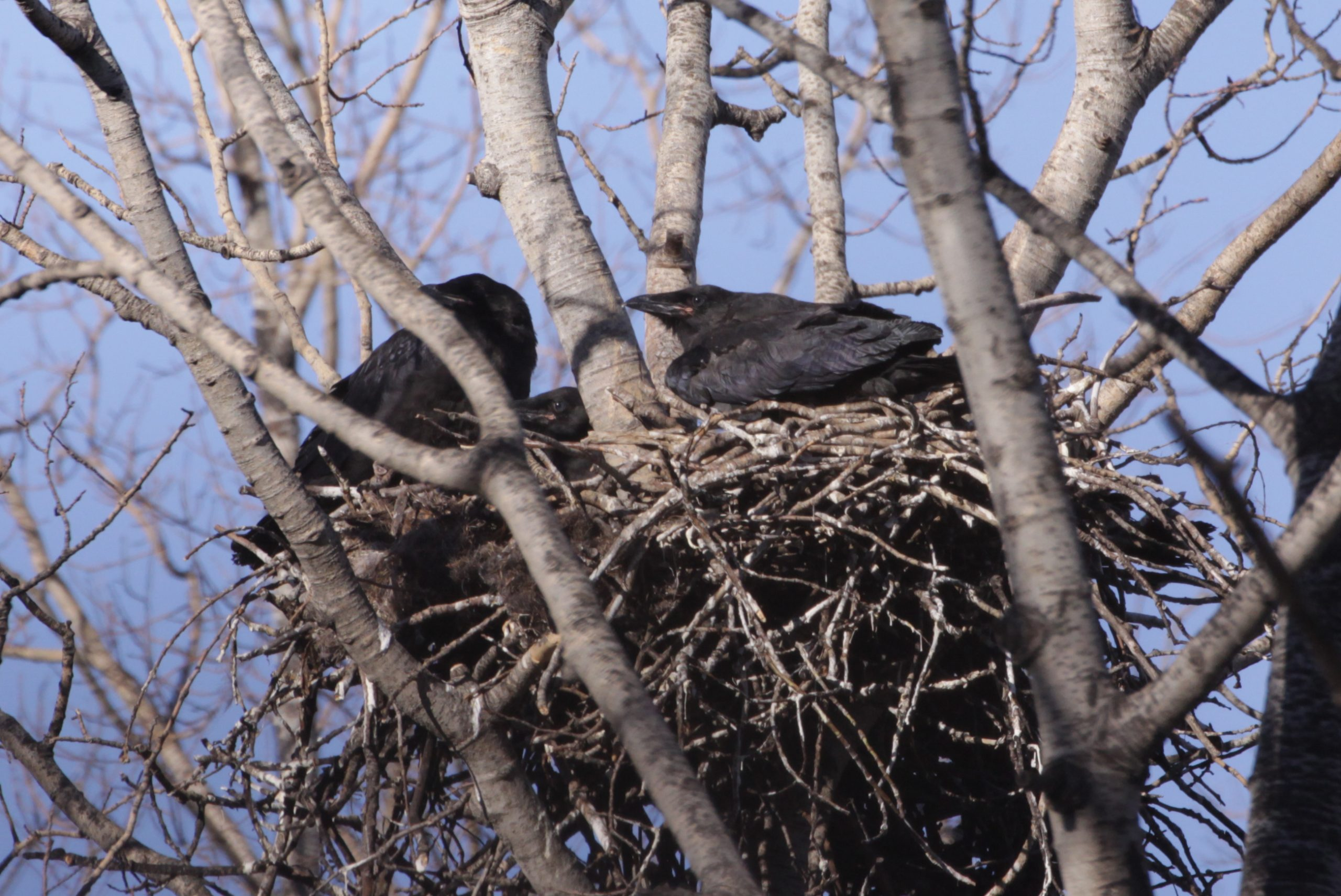 Fewer Birds But More Species Spotted Around Fort McMurray
