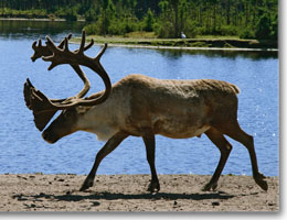 Province Looking to Help Increase Woodland Caribou Populations