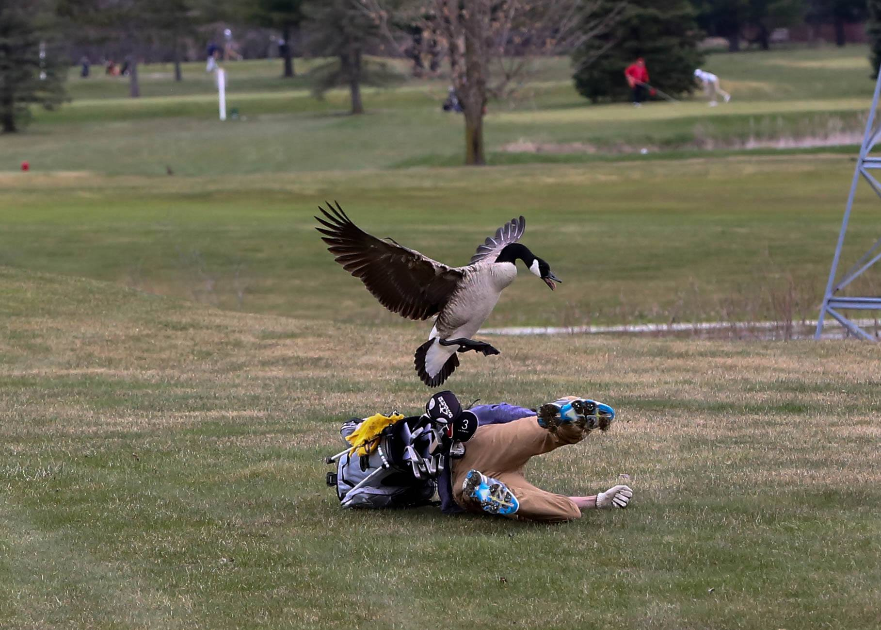 """Worlds Angriest Goose"" Attacks Golfer, Here Are The Weirdly Gorgeous Photos"