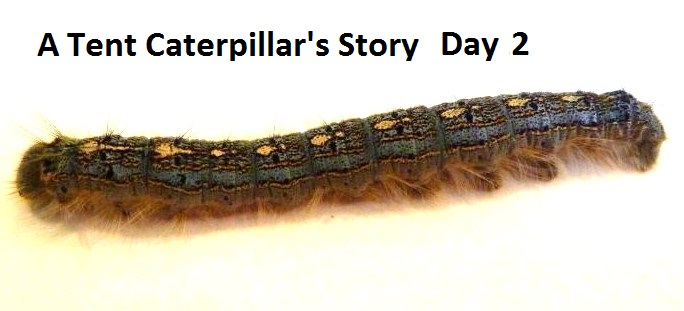 A Tent Caterpillar's Story - Day 2