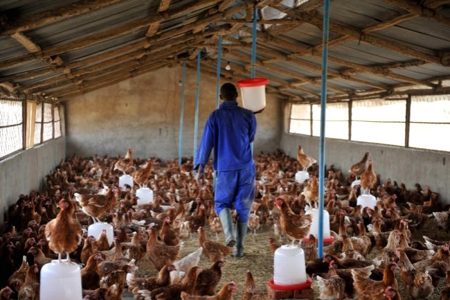 Poultry farmers threaten to sell flu infected birds
