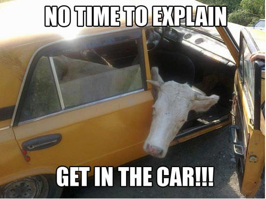 no-time-to-explain-get-in-the-car-funny-cow-meme | 100.3 The Q!
