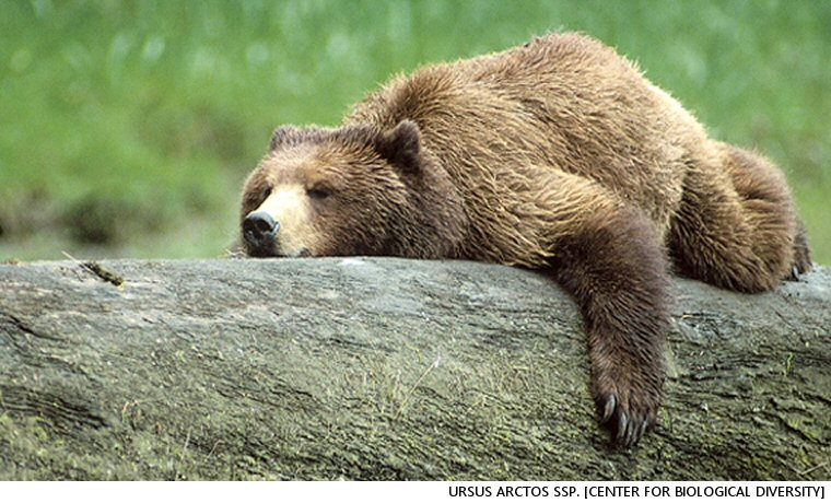 British Columbia Soon To Be Somewhat Safer For Grizzly Bears As NDP Puts An End To Trophy Hunting