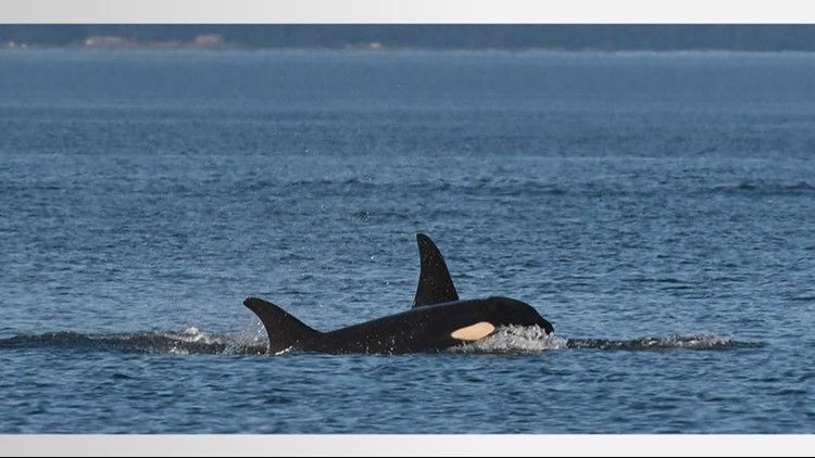 Feds announce Orca Whale saving measures