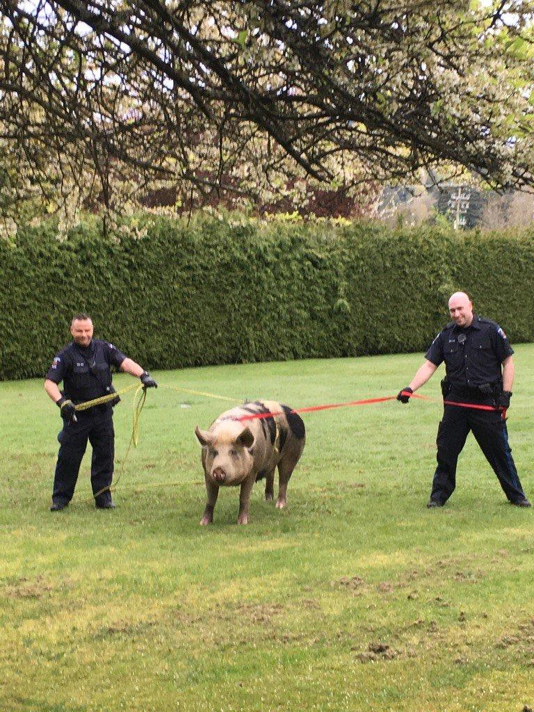 Police nab loose pig in Saanich