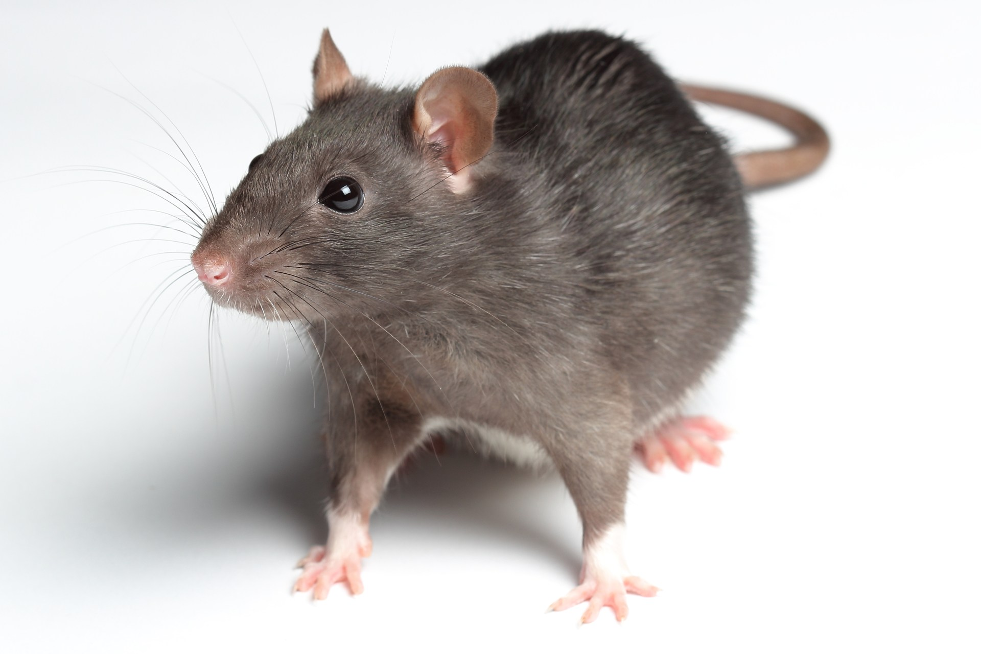"Pest company ranks Victoria second ""Rattiest"" town in B.C"