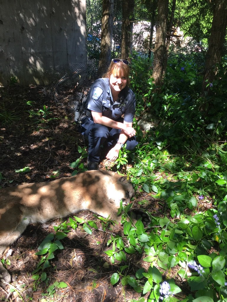 Cougar found in Gordon Head to be re-located