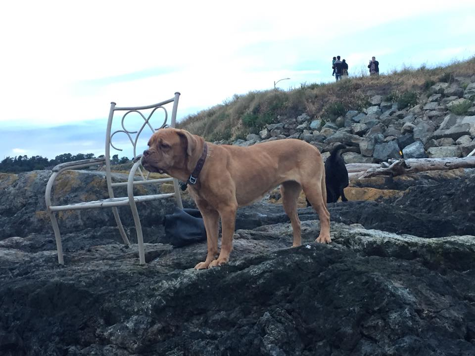 Otters attack dog off Clover Pt in Victoria