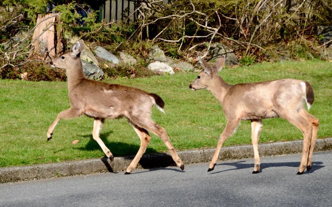 Herd of deer attack woman in Oak Bay