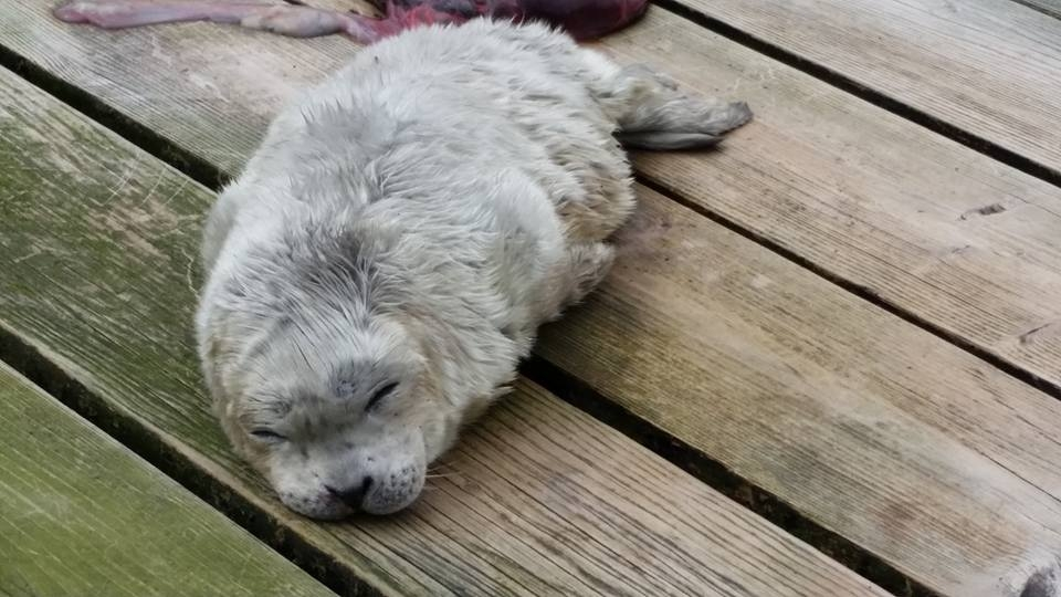 Adorable Seal Pup Born in Sooke