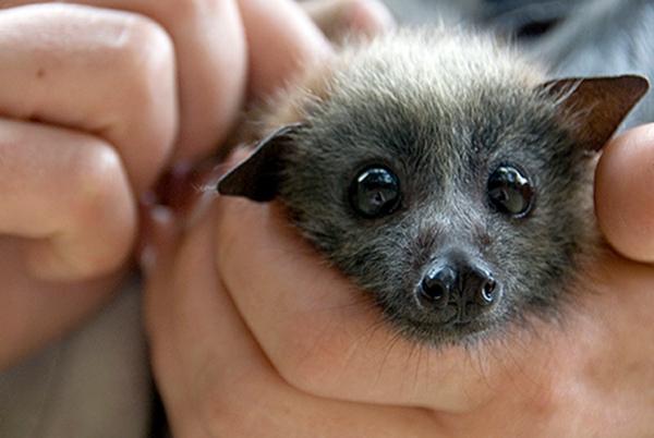 B.C. Bats at Risk of Disease