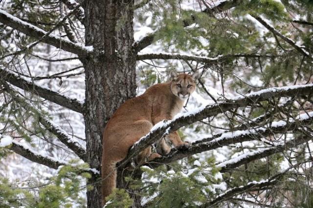 Alberta Parks Warns Public Following Cougar Sighting