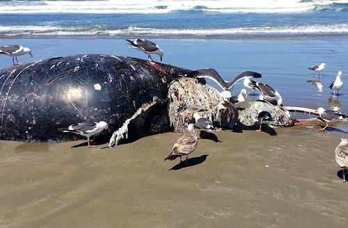 Dead Killer Whale Found On Sunshine Coast