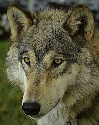 Wolf Killed