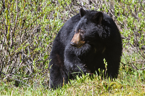 Livestock Killed By Black Bears