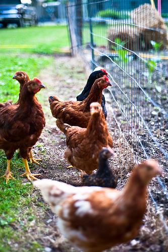 Chicken Abuse