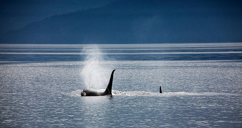 Orcas Return