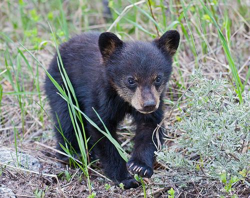 Bear Cub Killing