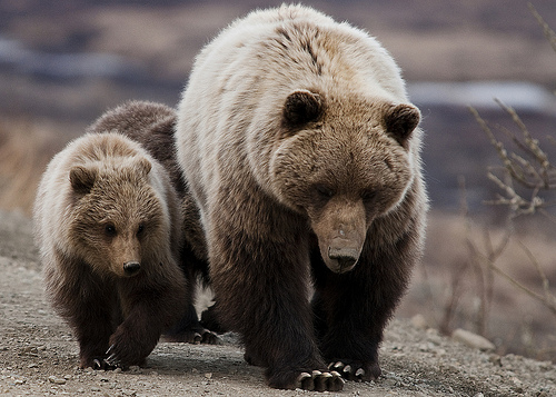 Grizzly Bear Hunt Halted