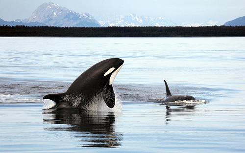 Killer Whale Study