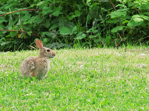 Rabbit Disease Vaccine