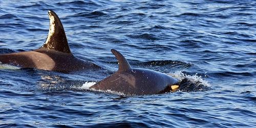 Killer Whale Baby Death