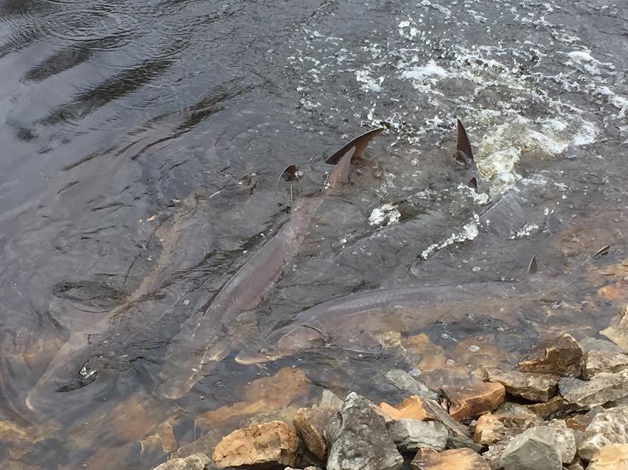Sturgeon spawning draws many to Shiocton