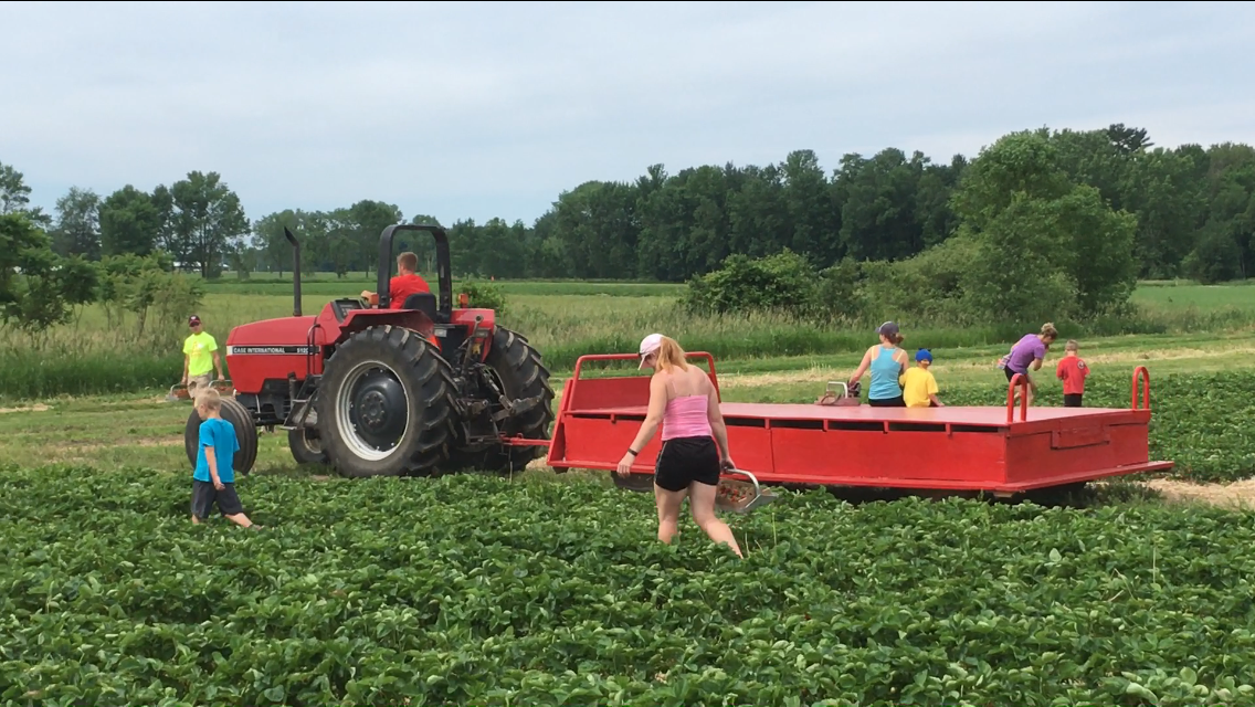 Strawberry picking season opens at Glendale Farms