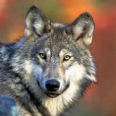 Tiffany warns Endangered Species Act could 'go away' over gray wolf delisting impasse
